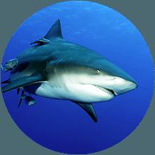 grăsime de rechin